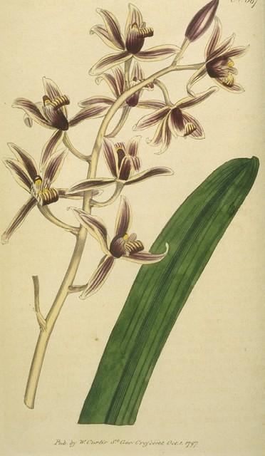 Aloe-leaved Epidendrum