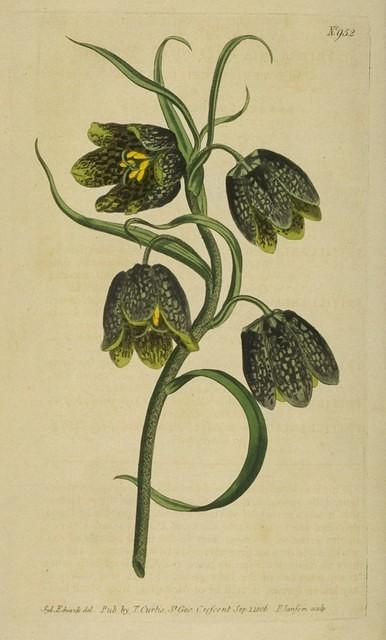 Bunch-flowering Fritillaria