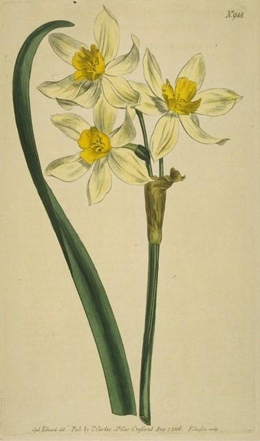 Cream-coloured Narcissus of the Levant