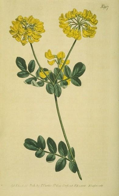 Crown-flowered Coronilla