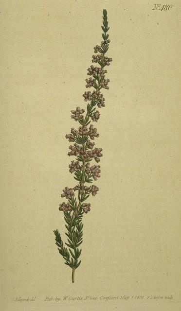 Downy-flowered Heath