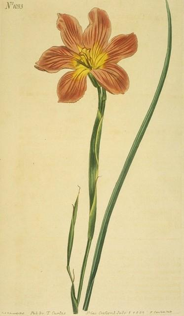 Equal-flowered Moraea