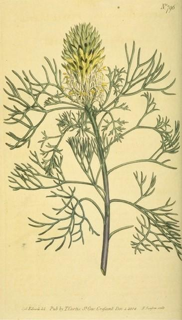 Fennel-leaved Protea