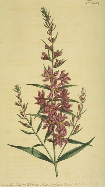 Fine-branched Willow-herb