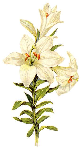 http://vintageimages.org/var/resizes/Flowers/Flowers437.jpg?m=1314016971