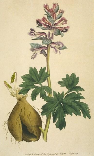 Hollow-rooted fumitory