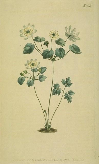 Meadow-rue- leaved Anemone