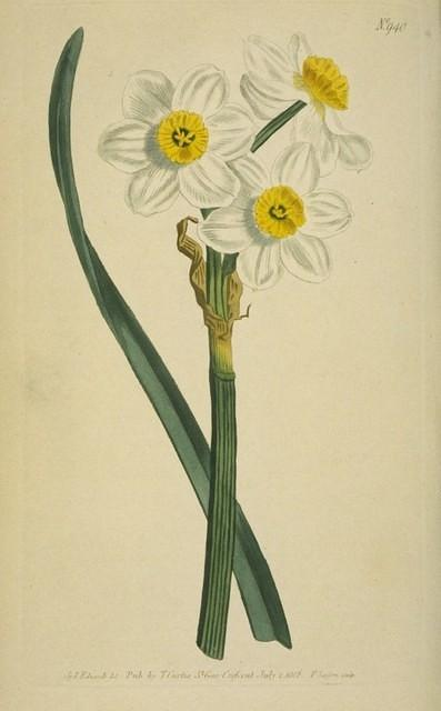Narcissus of the Levant