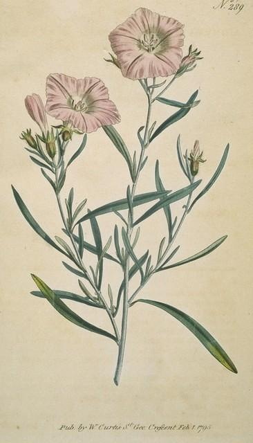 Narrow-leaved Convolvulus