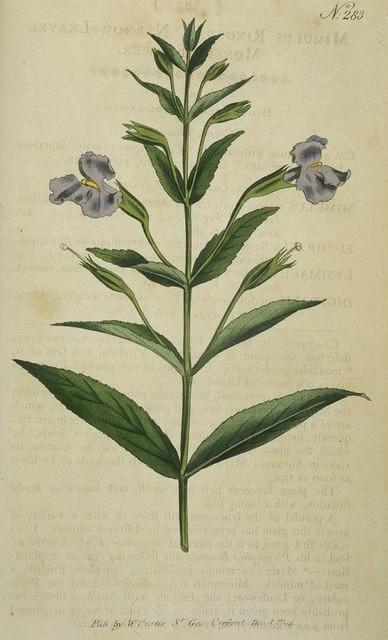 Narrow-leaved Monkey-flower