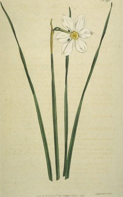 Narrow-leaved Narcissus, Poet's Narcissus