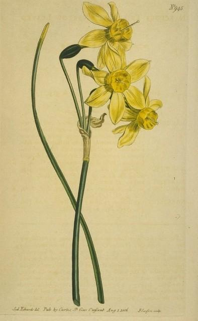 Narrow-leaved Narcissus
