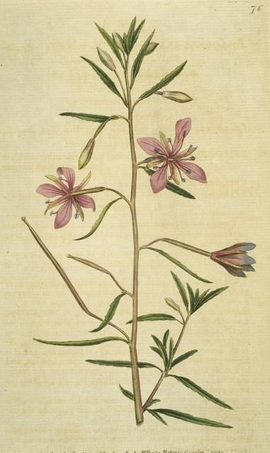 Narrowest-leaved Willow-herb