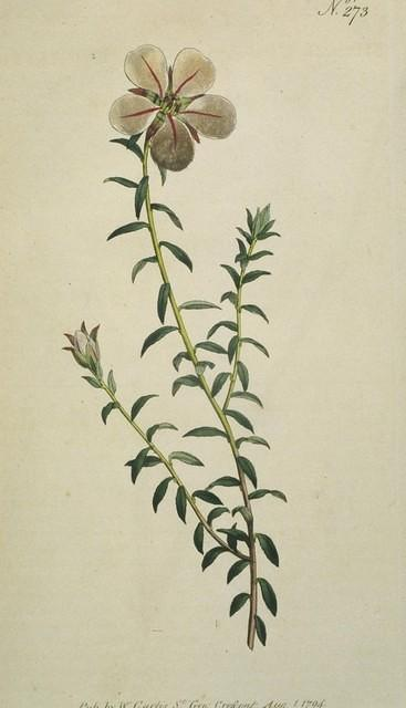 One-flowered Diosma