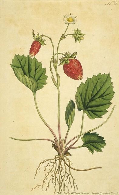 One-leaved Strawberry
