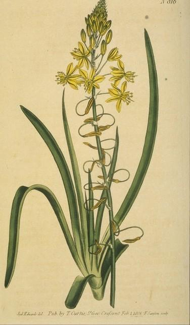 Onion-leaved Anthericum