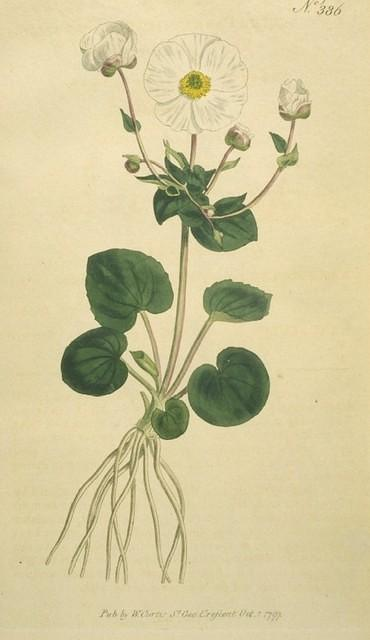 Parnassia-leaved Crowfoot