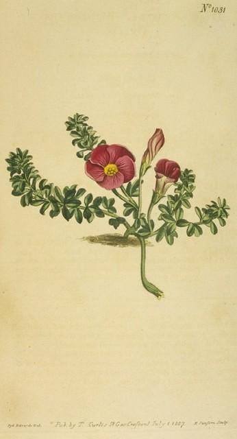 Red-flowered Oxalis