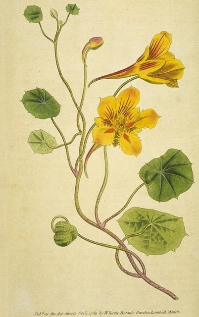 Small Tropaeolum