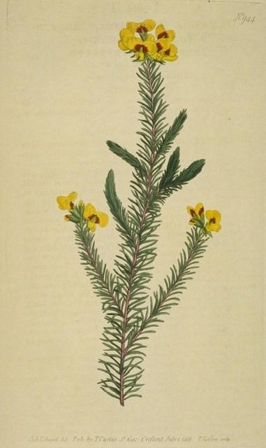 Smooth-leaved Dillwynia