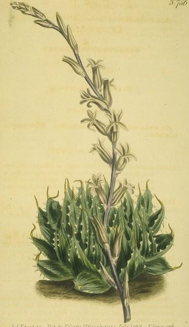 Spier-footed Leaved Aloe