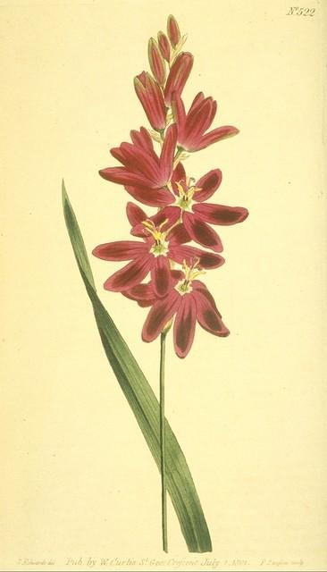 Spreading-flowered Ixia