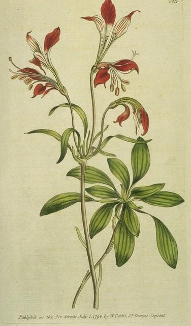 Stirped-flowered Alstroemeria