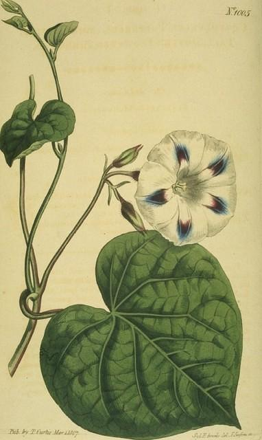 Tall Spotted- flowered Bindweed