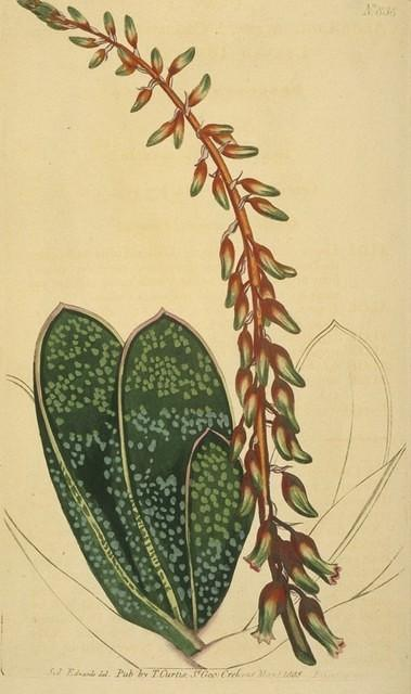 Thick-leaved Tongue Aloe