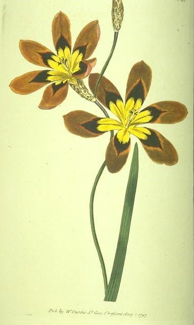 Three-coloured Ixia