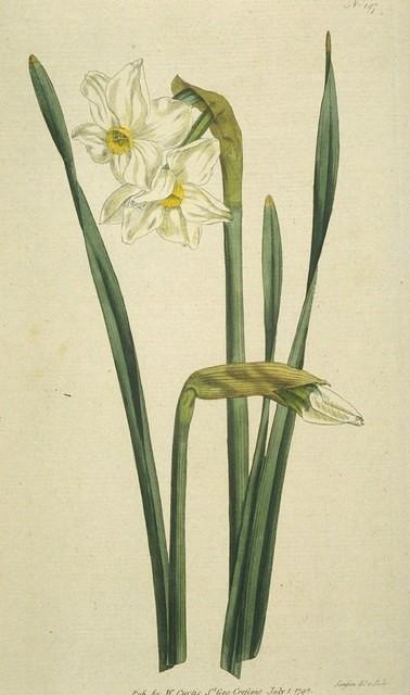 Two-flowered Narcissus