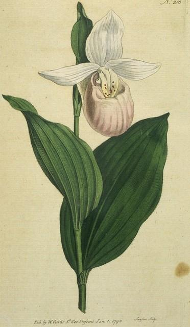 White-petaled Ladies Slipper