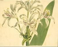Few-flowered West-indian Crinum