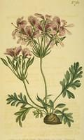 Fleshy-leaved Pelargonium