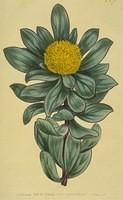 Globe-flowered Protea