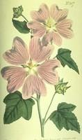 Great-Flowered Lavatera