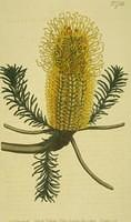 Heath-leaved Banksia