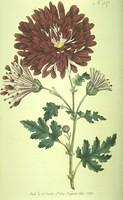 Indian Chrysanthemum