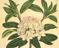 Laurel-leaved Rhododendron