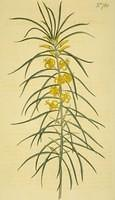 Linear-leaved Persoonia