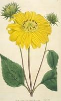 Many-flowered Sun-flower