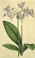 Mead's Dodecatheon