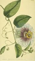Notch-leaved Passion-flower
